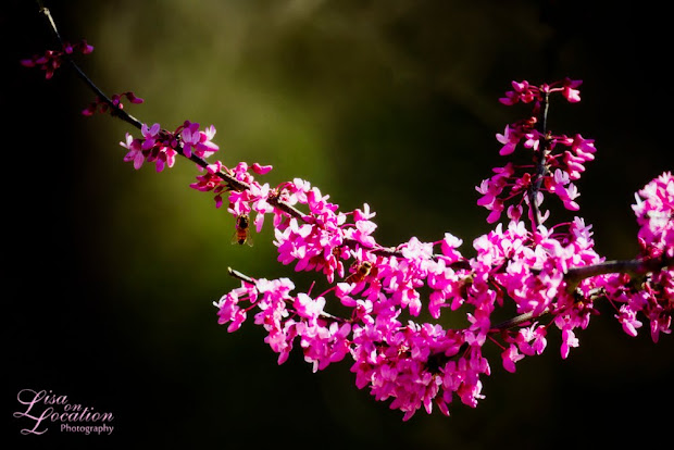 Redbud blossoms, early spring in Texas, New Braunfels, 365 photo project