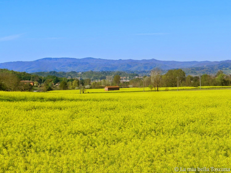 fiori gialli toscana