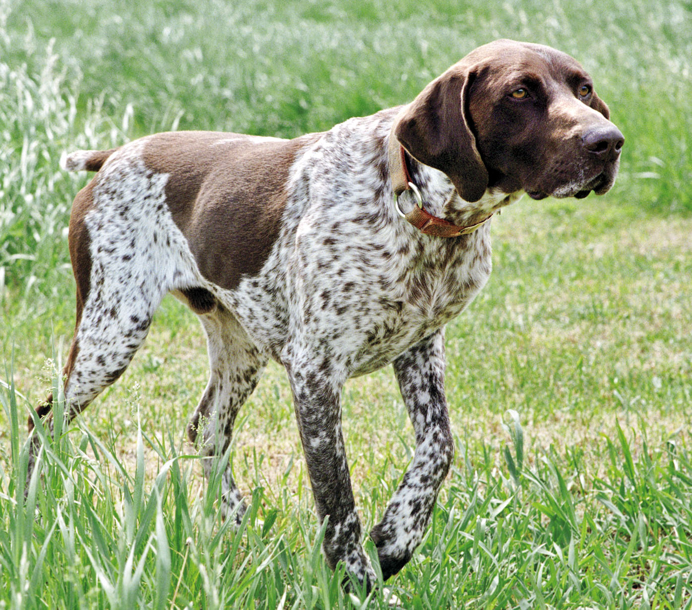 german short haired pointer - photo #8