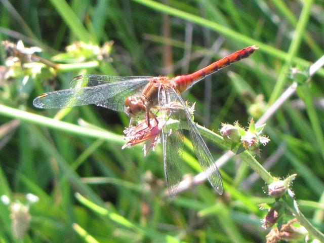 yellow-legged meadowhawk dragonfly