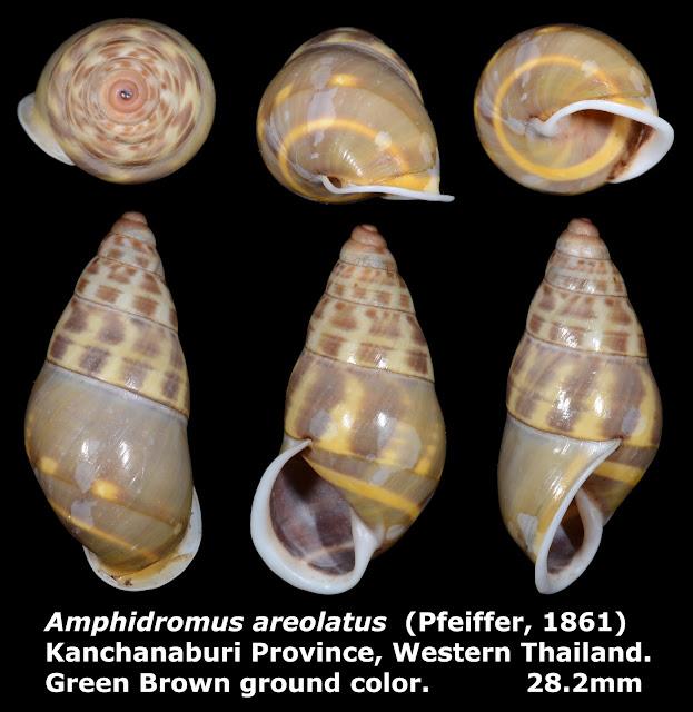 Amphidromus areolatus 28.2mm