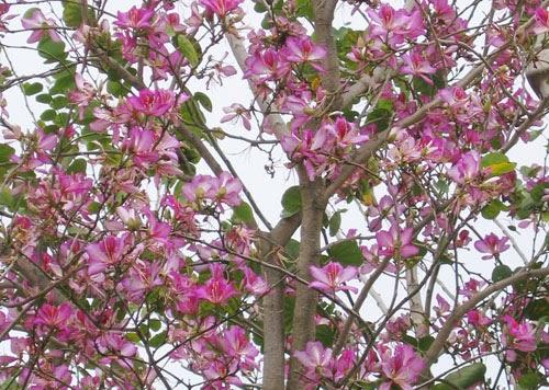 Arbre orchid e ou bauhinia flore de l le de la r union for Entretien jardin reunion