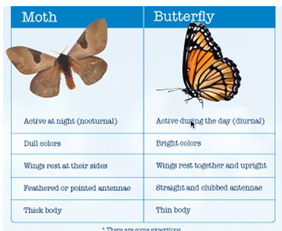https://answersingenesis.org/kids/bugs/moth-and-butterfly-differences/