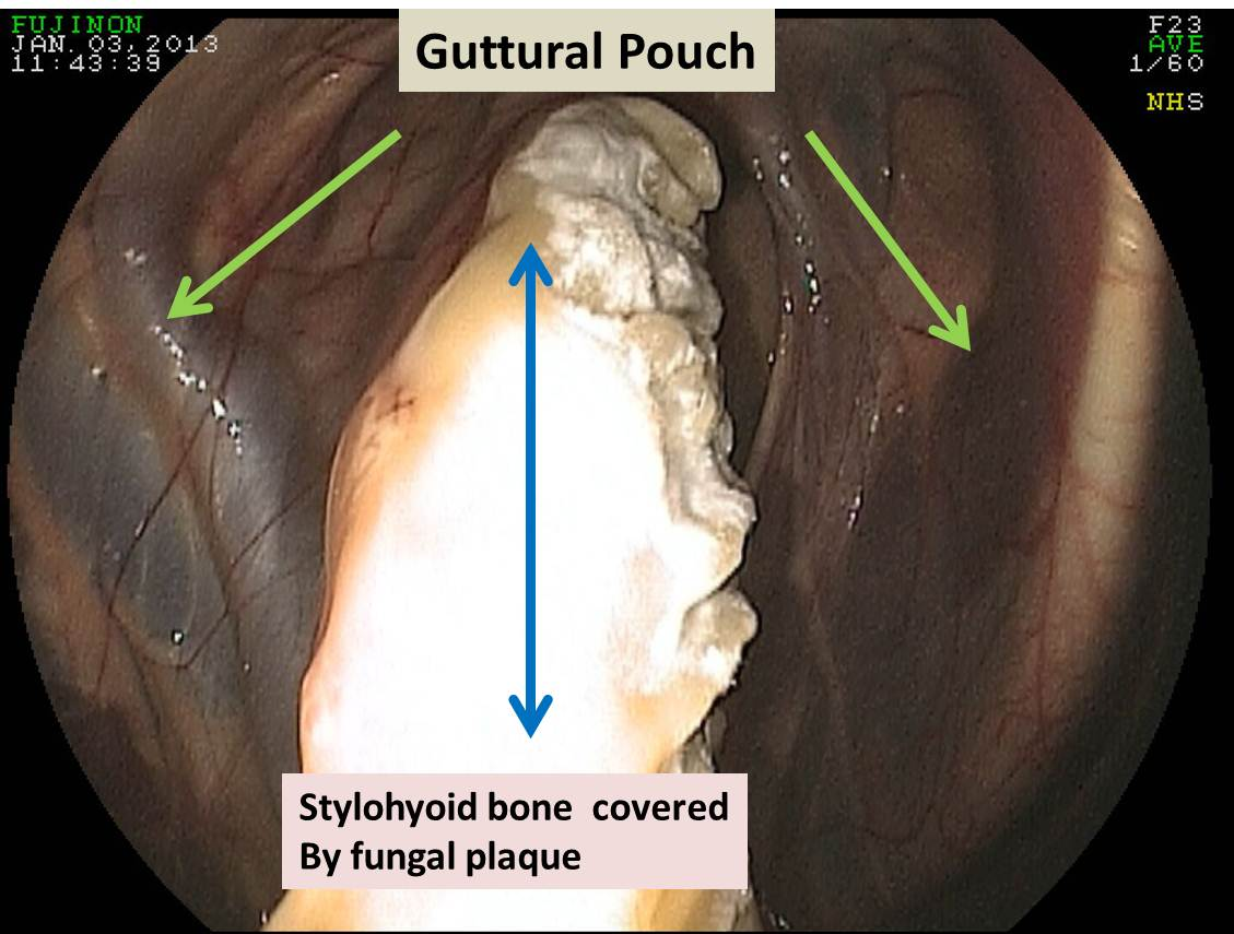 Michael Porter, Equine Veterinarian: Guttural Pouch Fungal Infection ...