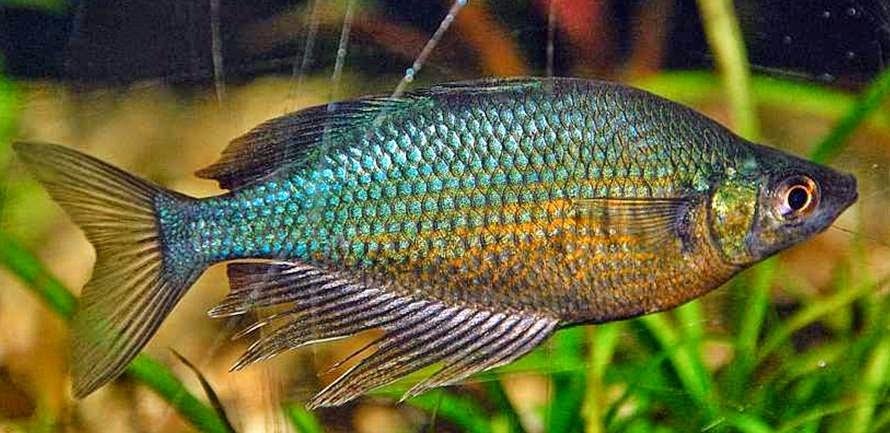 Lake Wanam rainbowfish Glossolepis wanamensis Care and Information ...