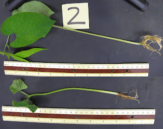 A bean plant treated with hydrogen sulfide (top) is substantially bigger at two weeks after gestation than the control plant (bottom) that was untreated. Credit: Frederick Dooley/University of Washington