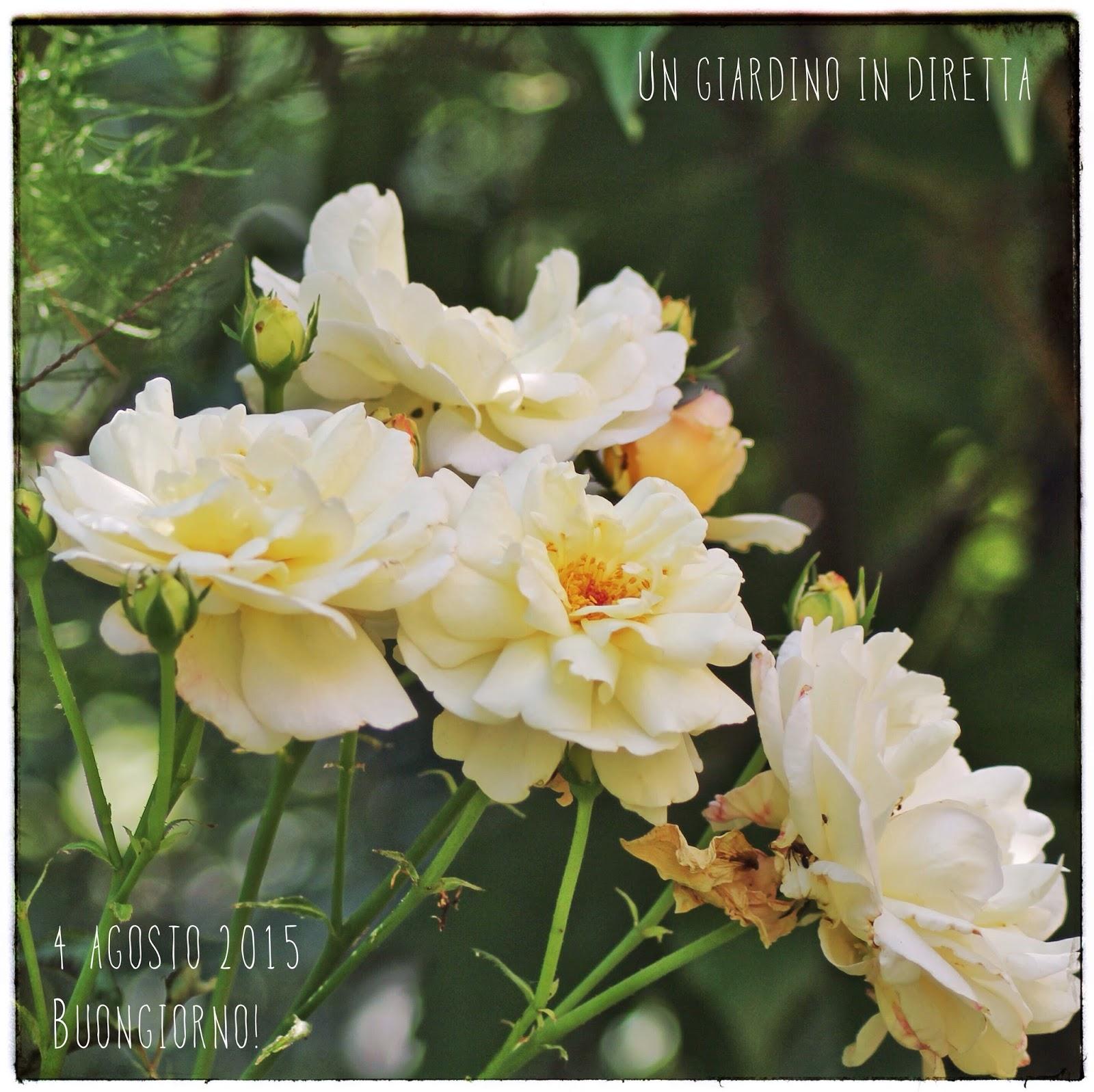 Fiori di agosto rosa gruss an aachen un giardino in diretta for Fiori di agosto
