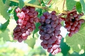 Benefits of grapes to the diet