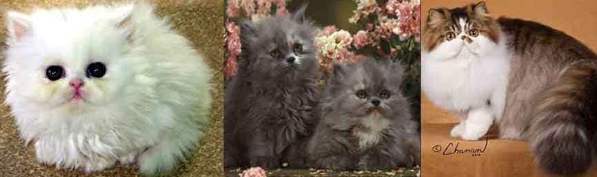merawat kucing persia