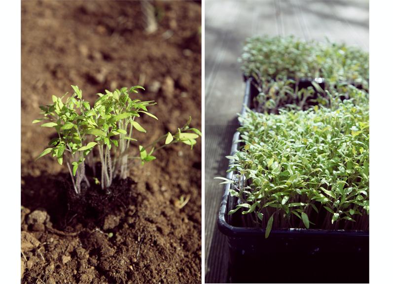 bacs semis de tomates