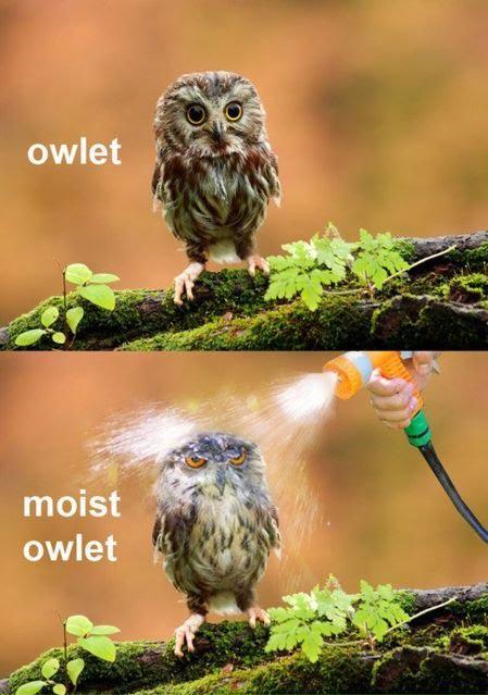 Owlet - Moist Owlet
