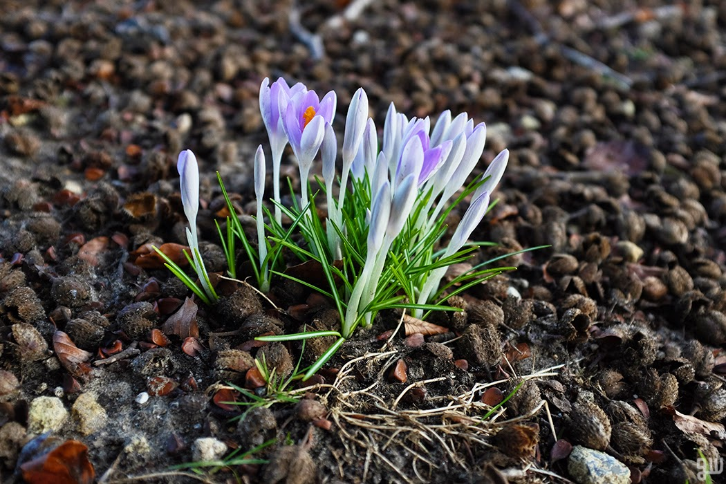 Crocuses - ©2015 Graeme Walker-Garden Photography,Plants,Geology,Creatures