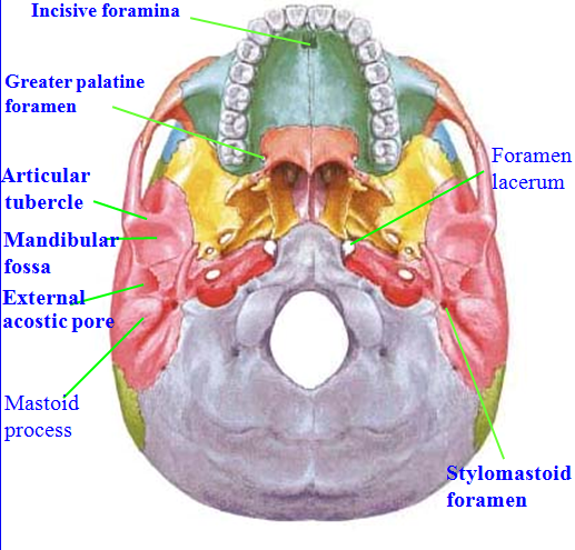 MBBS Medicine (Humanity First): Skull Anatomy