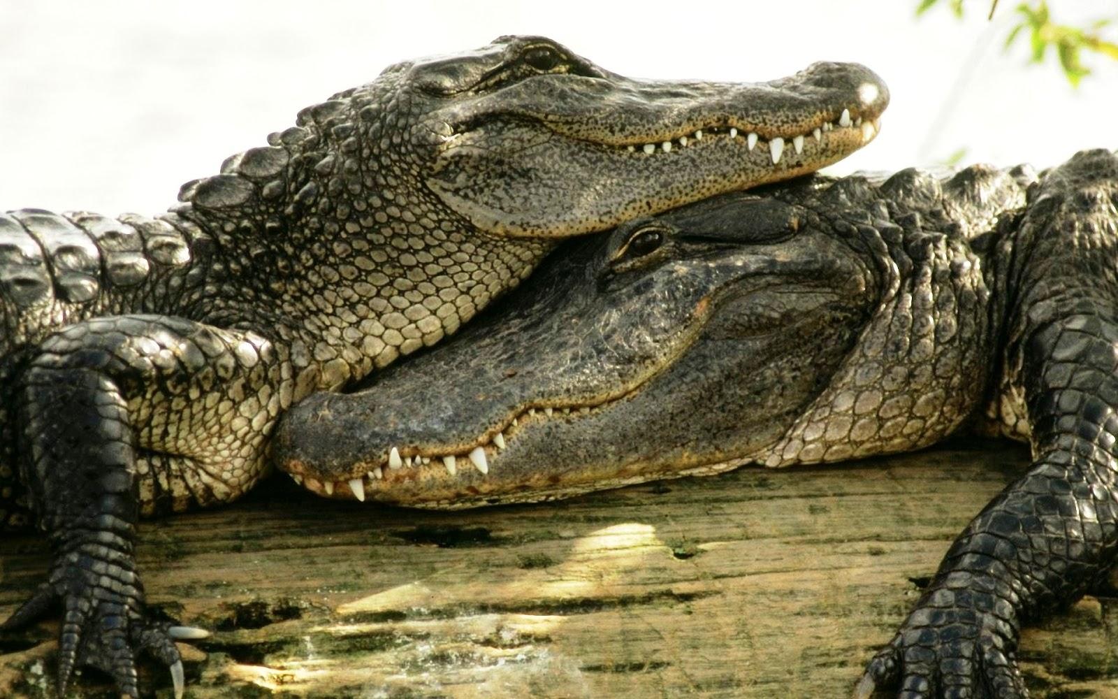 Crocodile HD Wallpapers