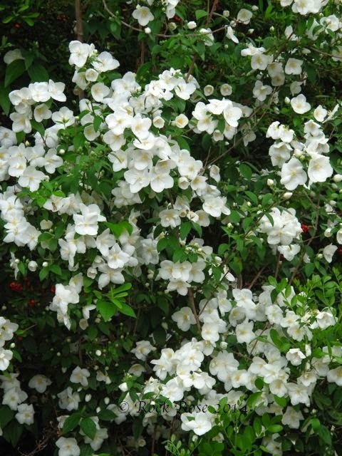 Rock rose white is a color too for White flowering bush
