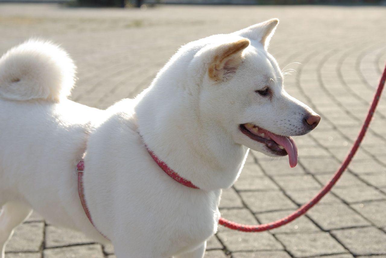Japan It S A Wonderful Rife Japanese Dog The Shiba Inu