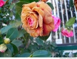 freeze damage on camellias
