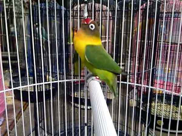 Lovebird Ngekek