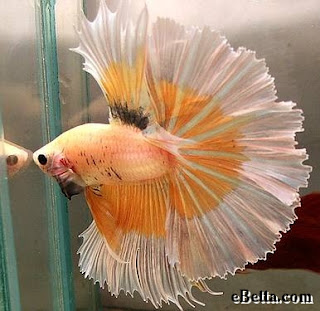 12 Type Of Betta Fish By Tail Types - Over Halfmoon