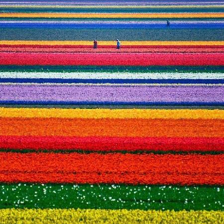 Campos de colores en Holanda