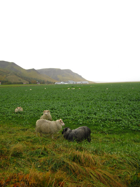 Scenery on The Golden Circle in Iceland sheep in meadow.