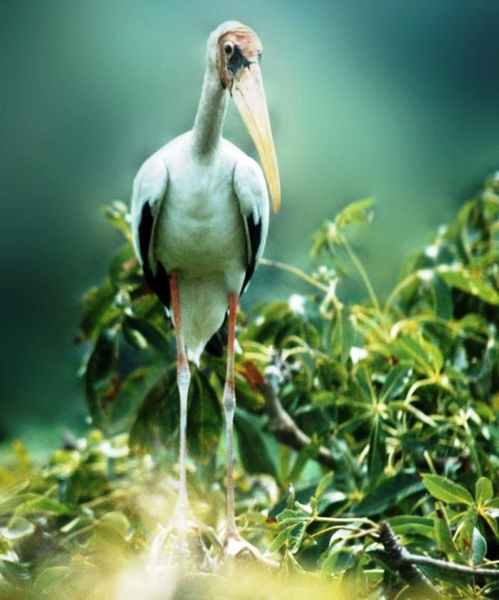 Bangau Bluwok, Burung Rentan di Lahan Basah