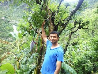 Banana Tree At Bhagori Village, Fakot, Uttarakhand