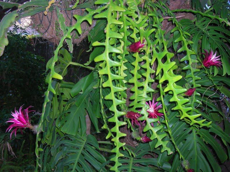 Cryptocereus anthonyanus Selenicereus anthonyanus