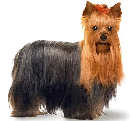 Yorkshire Terrier puppy cut pictures,dog breed images,photos,images