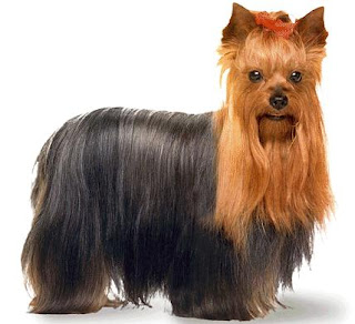 beautiful brown and black Yorkshire Terrier dog breed photo