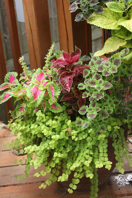 Creeping Jenny, ColeusVelvet Red, Wizard Rose and Chocolate Drop (the small leaves), Caladium