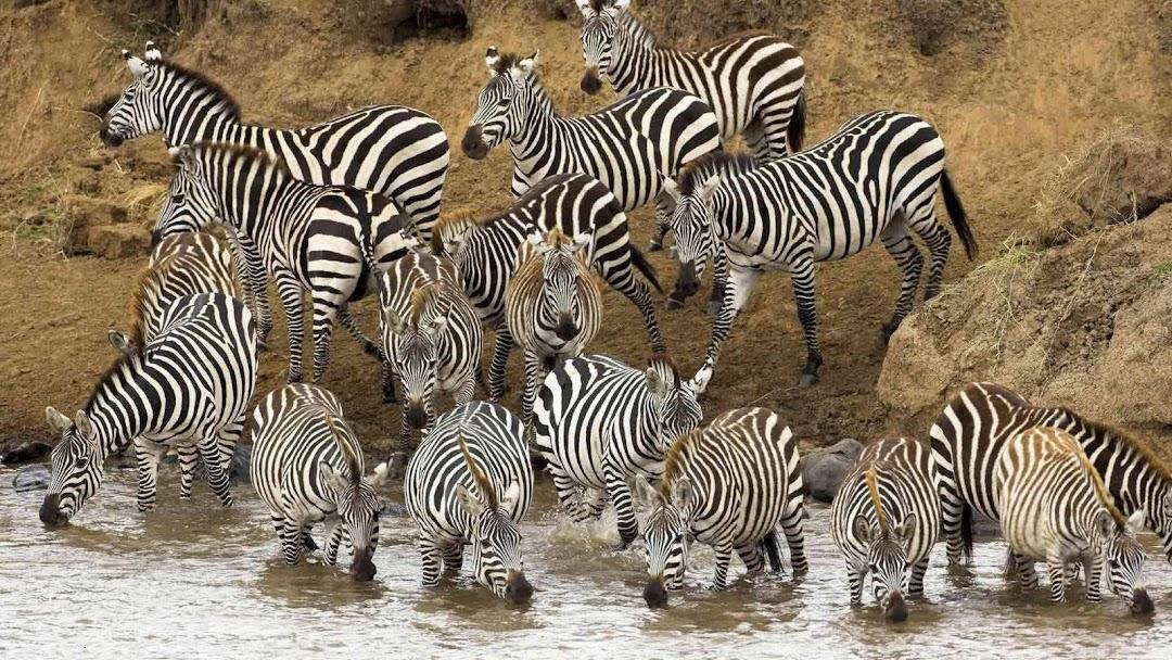 Zebra HD Wallpaper 5