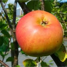 apple tree clone