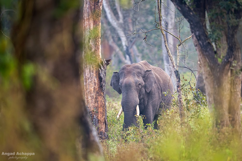 Elephant, indian elephant, asian elephant, bull elephant, wild elephant, tusker, Bandipur, Bandipur National Park, Karnataka, India, Wildlife Photography, Indian Wildlife, top indian wildlife photographers, top indian photographers