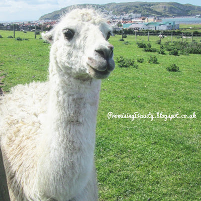 A woolly white llama by the sea at Llandudno, North Wales with the Great Orme, sea and pier in the background. Farm and animal sanctuary.