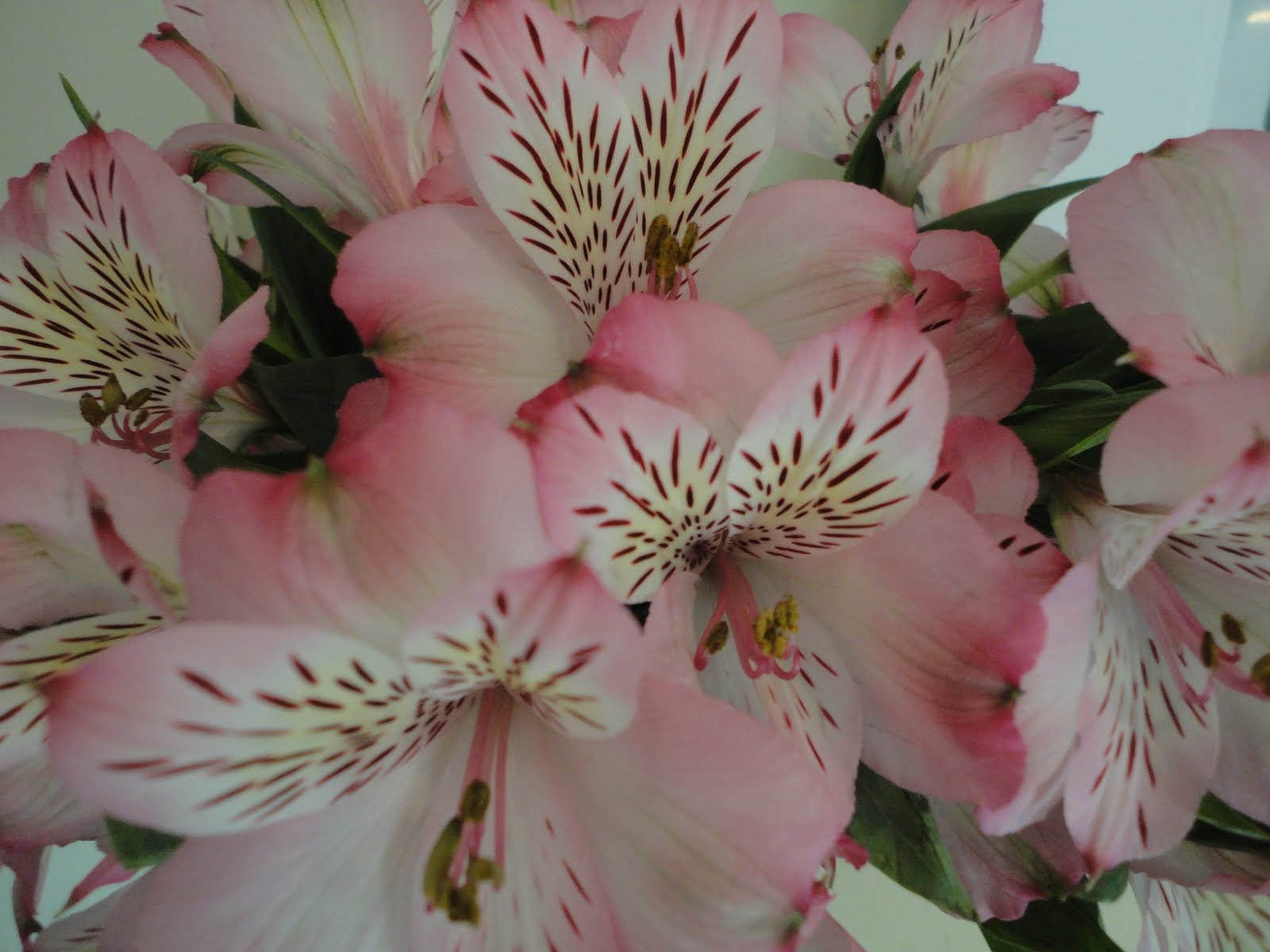 Monkey Grass Hill: The underrated alstroemeria
