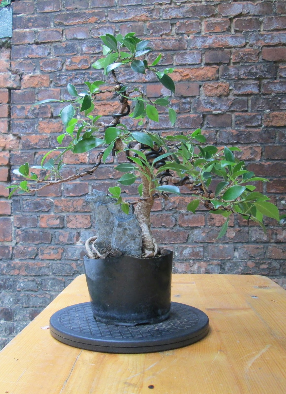 bonsai update ficus microcarpa wurzeln ber fels. Black Bedroom Furniture Sets. Home Design Ideas