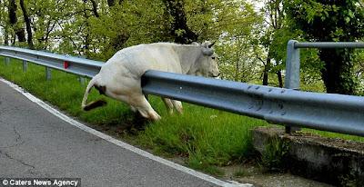 Lembu cuba lompat penghadang jalan tapi tak lepas