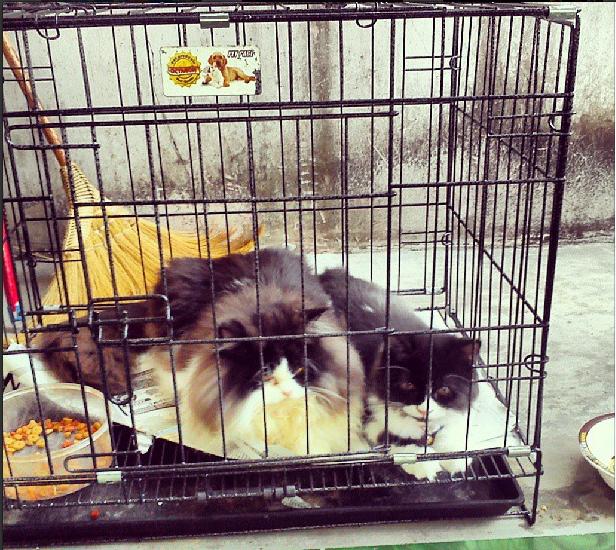 Kucing Persia Flatnose Cirebon