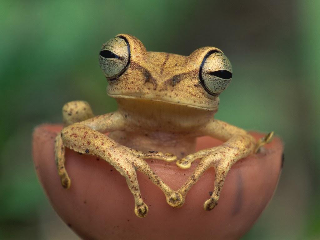 "<img src=""http://4.bp.blogspot.com/-HS68pfdYXEE/UtmEI3fIK5I/AAAAAAAAInI/0ML6JSY6I7k/s1600/animal-wallpapers-frog-sexy.jpeg"" alt=""sexy female frog"" />"