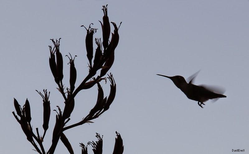 Colibri approchant une fleur de phormium