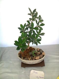 ficus panda bonsai plant