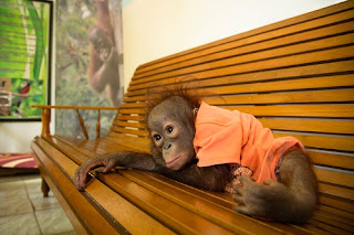 Baby orangutan Pelangi was rescued from a birdcage