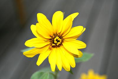 jaune tournesol