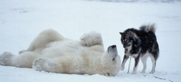 Encontro entre um Urso Polar e os cães