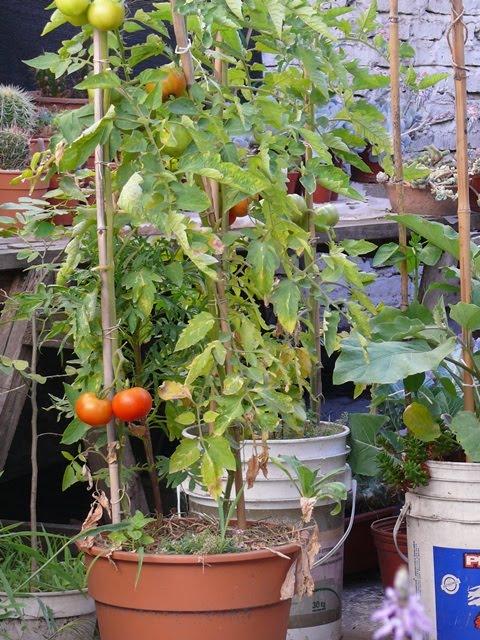 Tomates en macetas pimientos y tomates en macetas el for Plantar pimientos y tomates