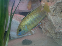 malawi cichlid fish gender hybrid