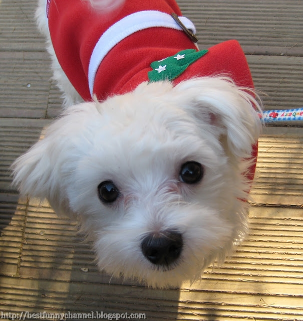 Cute dog in a Christmas costume