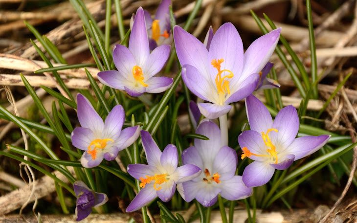 Wild Crocuses and Wild Snowdrops