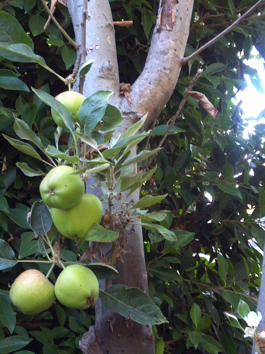 backyard apple tree los angeles 2012
